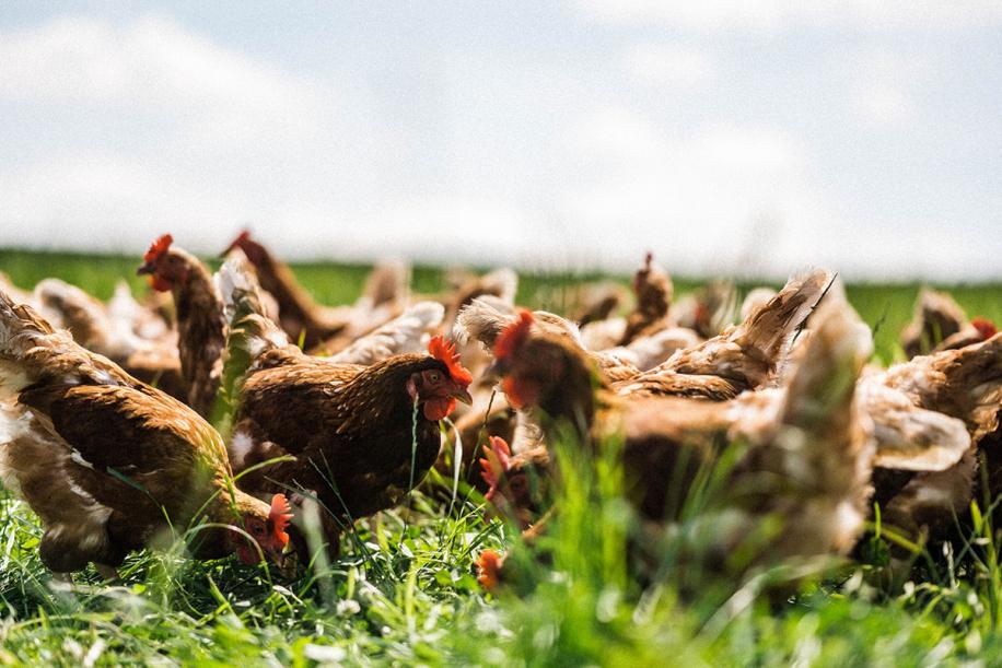 Kingsclere Estates Chickens Regenerative Agriculture 211
